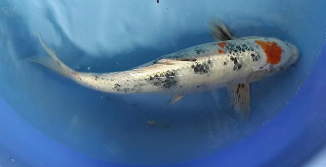 Hình ảnh cá koi việt chất lượng cao