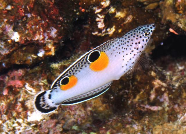 Hình ảnh Cá Mó Hai Chấm