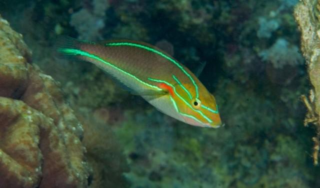 Hình ảnh Cá Mó Sọc