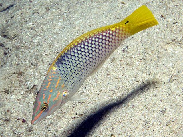 Hình ảnh Cá Mó Vàng