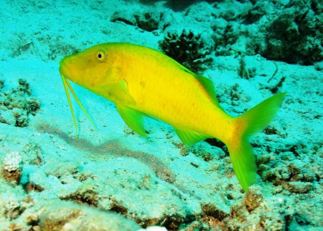 Hình ảnh Cá Phèn Vàng
