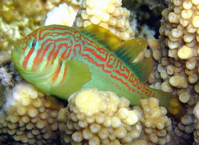 Hình ảnh Cá Rubi Sọc