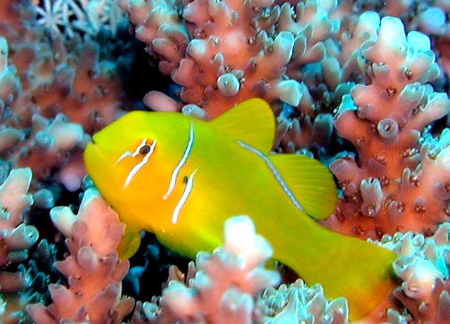 Hình ảnh Cá Rubi Vàng