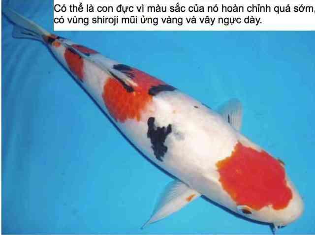 Hình ảnh minh họa cách chọn cá koi