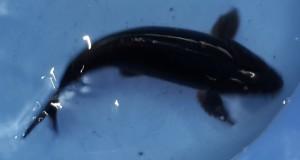 Hình ảnh cá koi đen