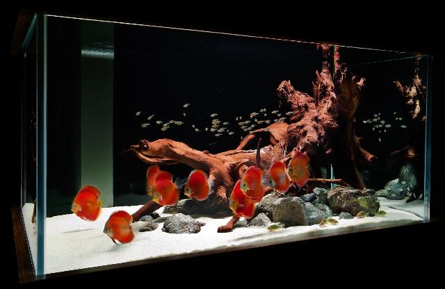 Hình ảnh bể cá đĩa đẹp