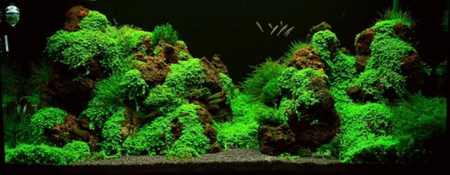Hình ảnh bể thủy sinh sử dụng rêu