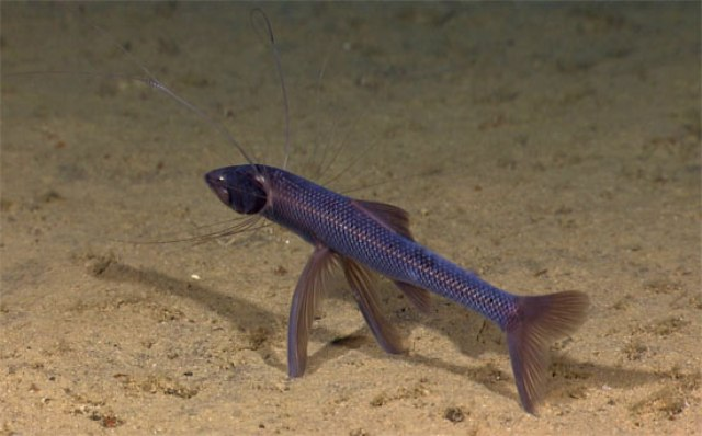 Hình ảnh cá Ba Chân
