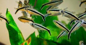 Hình ảnh những loại cá đàn thả bể thủy sinh