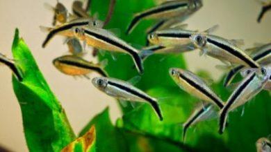 Photo of Những loại cá đàn thả bể thủy sinh
