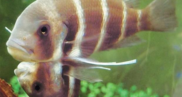 Hình ảnh cá đầu bò dính liền thân
