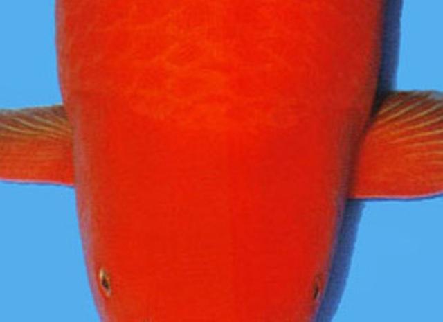 Hình ảnh cá koi Benigoi