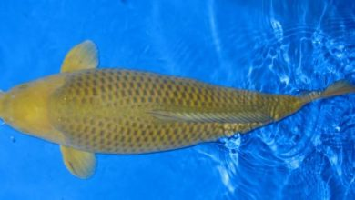 Photo of Đặc điểm và cách chọn cá koi Chagoi