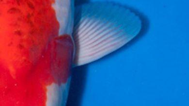 Photo of Đặc điểm và cách chọn cá koi Goromo