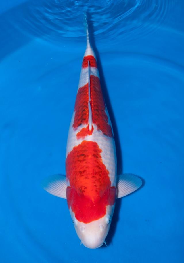 Hình ảnh cá koi Goromo