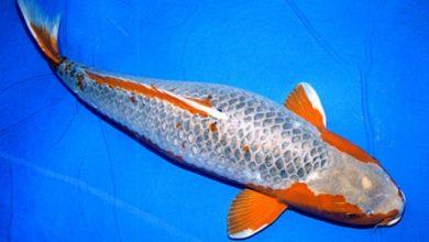 Photo of Đặc điểm và cách lựa chọn cá koi Asagi