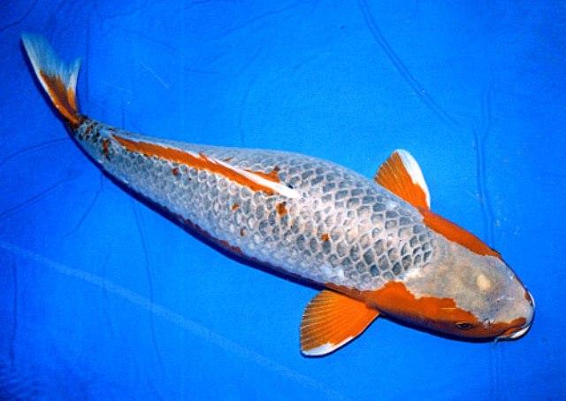 Hình ảnh cá koi Asagi