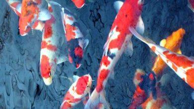 Photo of Ảnh hưởng nhiệt độ tới chế độ ăn của cá koi