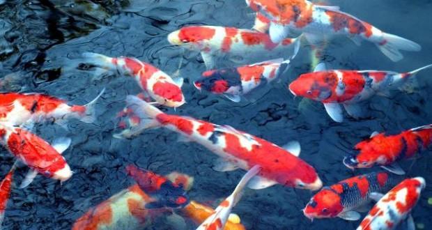 Hình ảnh cá koi nhật tại trại
