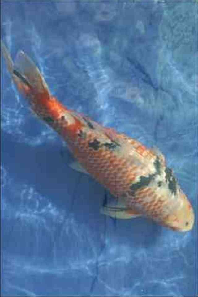 Hình ảnh cá koi Sanke