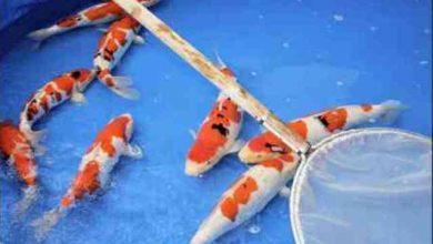 Photo of Đặc điểm và cách chọn cá koi Sanke