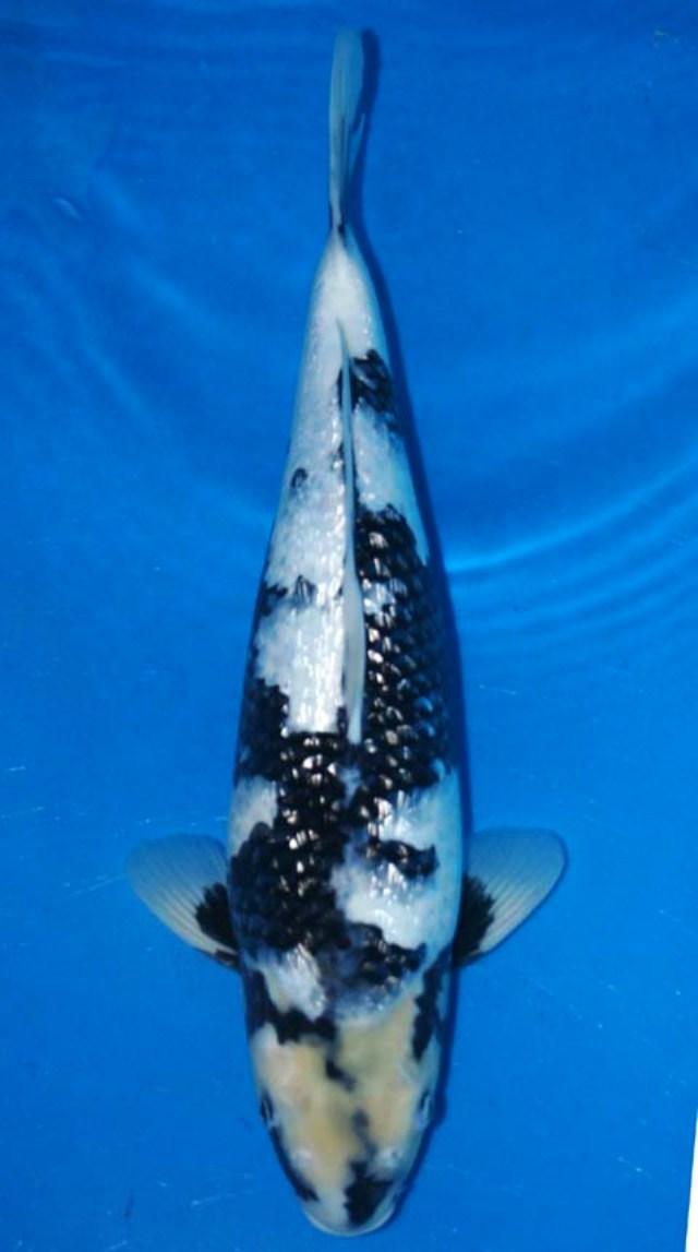 Hình ảnh cá koi Shiro Utsuri