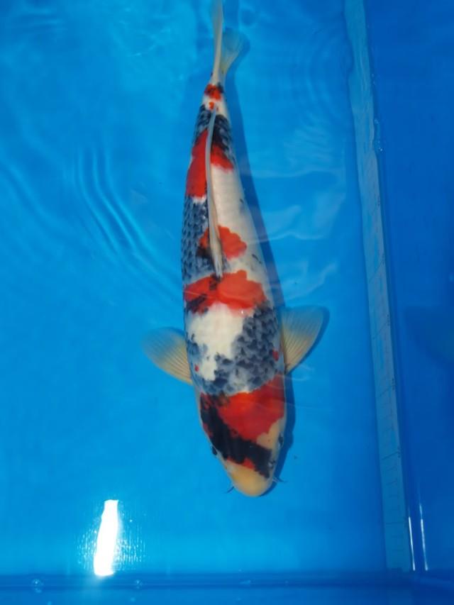 Hình ảnh cá koi Showa