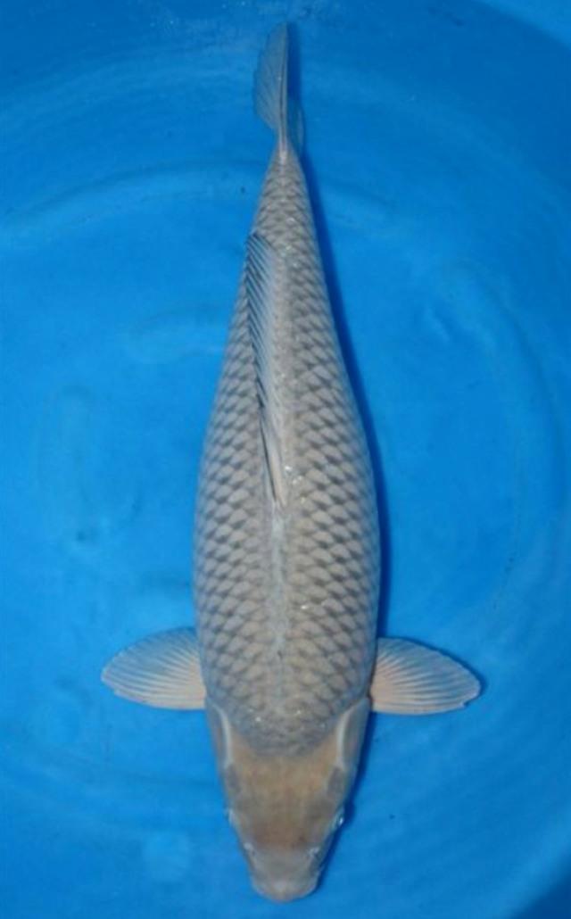 Hình ảnh cá koi Chagoi