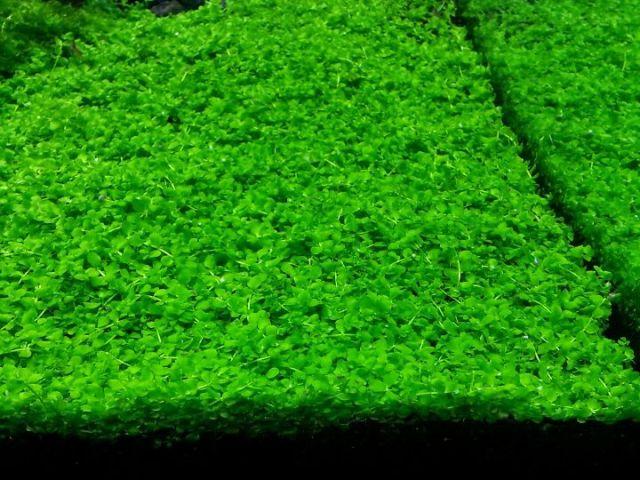 Hình ảnh cây thủy sinh tiền cảnh
