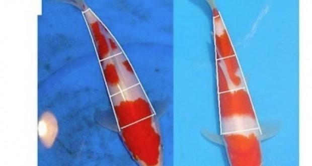 Hình ảnh cá koi