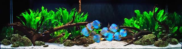 Hình ảnh bể cá đĩa