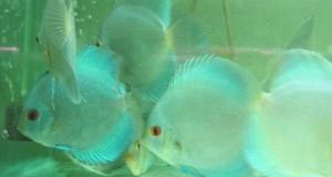 Hình ảnh cá đĩa Lam mới về