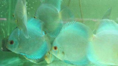 Photo of Cá Đĩa Lam size 6 về ngày 16/03/2015