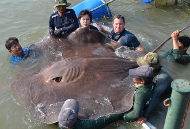 Hình ảnh cá đuối khổng lồ