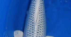 Hình ảnh cá koi Gin Matsuba