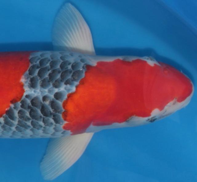 Hình ảnh cá koi Goshiki