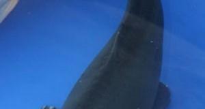 Hình ảnh cá koi Hajiro