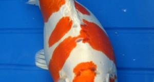 Hình ảnh cá koi Hariwake