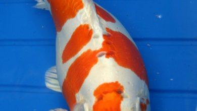 Photo of Đặc điểm và cách chọn cá koi Hariwake