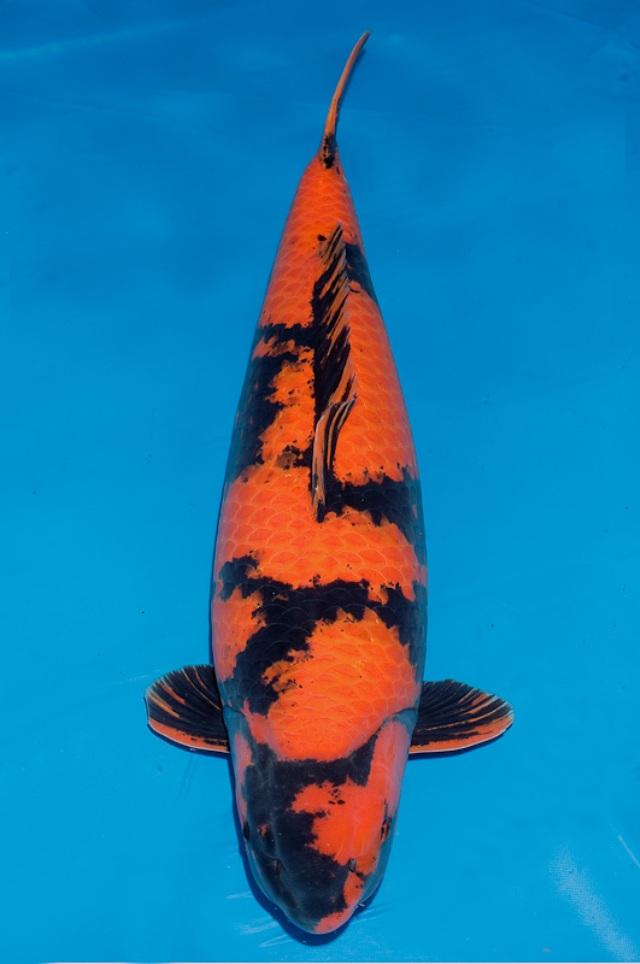 Hình ảnh cá koi Hi Utsuri