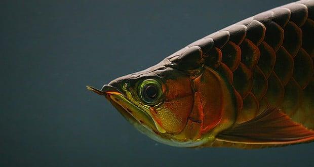 Hình ảnh của cá rồng