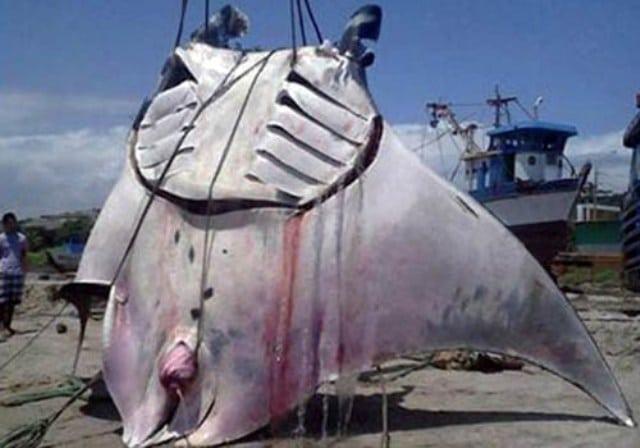 Hình ảnh cá Đuối nặng 1 tấn