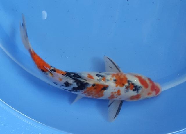 Hình ảnh cá koi Việt mới về