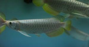 Hình ảnh cá rồng Highback Splendour