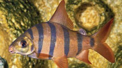 Hình ảnh cá Vương Miện