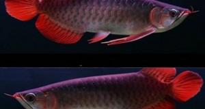 Hình ảnh cá rồng Huyết Long