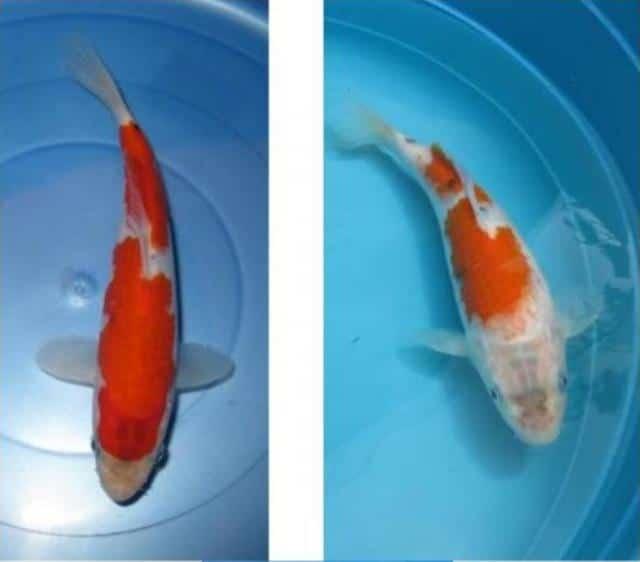 Ví dụ vệ sự biến đổi màu sắc của cá koi