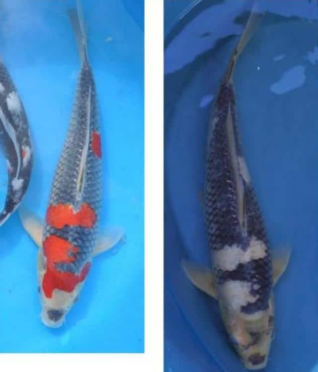 Hình ảnh sự biến đổi của cá Koi Goshiki