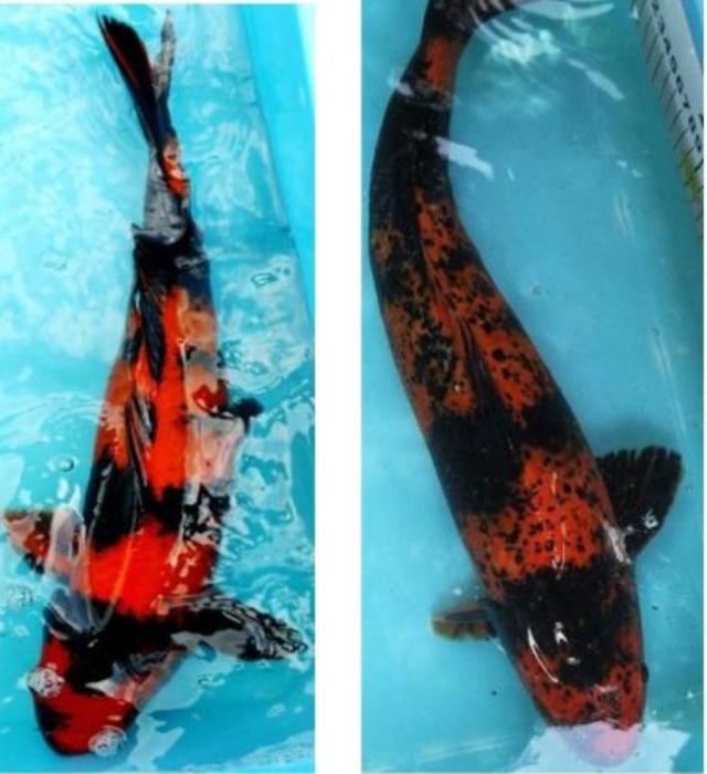 Hình ảnh sự biến đổi Sumi ở cá Koi