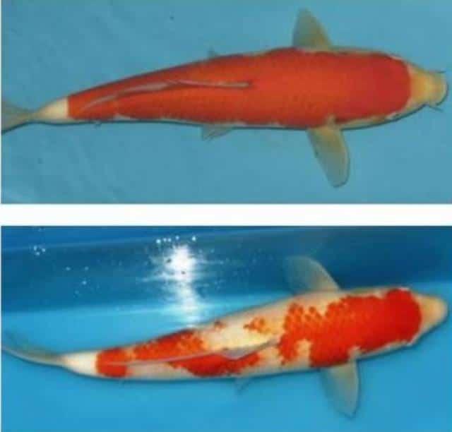 Hình ảnh sự biến đổi màu sắc của cá Koi
